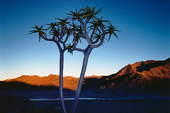 64231_poster2000 (sahaybeni) Tags: landscape southafrica berge vegetation afrika landschaft palme baum suedafrika bume afrikanisch southernnamibia sdafrika kcherbume kcherbaum