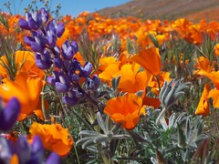 Purple Flower + Poppies (Megan Meets World) Tags: california flowers orange golden poppy