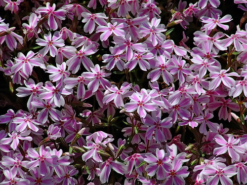 "Missouri Botanical (""Shaw's"") Garden, in Saint Louis, Missouri, USA - Moss phlox 2"