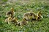 DSCF7997 Goslings at Big Creek (Sally Van Natta) Tags: spring goslings canadageese bigcreek naturesfinest salvan outstandingshots outstandingshot lakedecatur flickrgreen goldstaraward