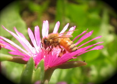 Bee & Flower (photographervenice) Tags: flower macro closeup bee ixus55