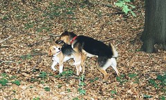 Zen and beagle, hard at play (_Zenji_) Tags: beagle germany jena zen deutscherschaeferhund germanyshepherd