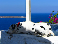 Santorini - Ia - Dalmation (timinbrisneyland) Tags: ocean dog view santorini greece dalmation spots ia bouganvillia