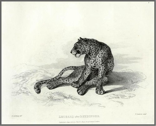 11-Leopard after Reydinger
