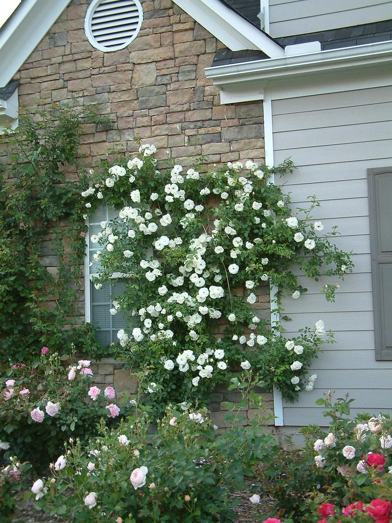 How Do I Train A Climbing Rose To Grow On A Fence?