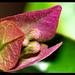 Macro Bougainvillaea Flower