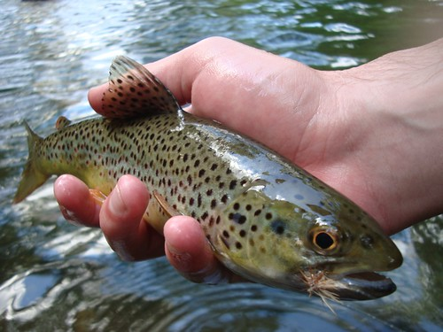 Gunpowder River Wild Brown that fell for a Caddis