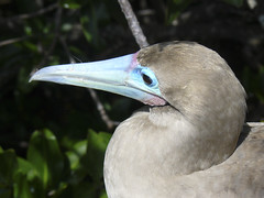 red-footed boobie bird upclose