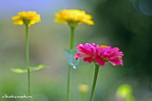 three flowers (bokeh)