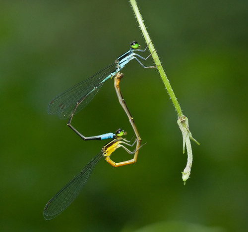 damselflies sex DSC_7731 web