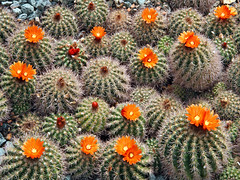 Parodia Comarapana (f0rbe5) Tags: uk cactus england orange kewgardens green london yellow cool bolivia 100v10f conservatory 2008 spheres botanicgardens royalbotanicgardens parodia bolivian princessofwales princessofwalesconservatory 450d parodiacomarapana comarapana
