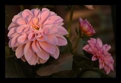 The beauty of the sunset (Kirsten M Lentoft) Tags: pink dahlia flower garden momse2600 mmmmmuuahhhhhhhhhhhhhh kirstenmlentoft