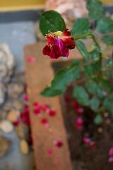 ptalas... (Fabiana Velso) Tags: green rose garden rosa ground petal flowerbed jardim cho folha ptalas canteiro rosaseca fabianavelso