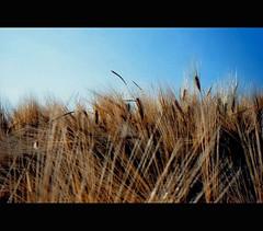 shangai (iabo77) Tags: oro grano spiga