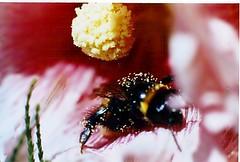 BUSYBEE (DDiamond1 ... Off) Tags: summer bee blueribbonwinner beautifulmonsters