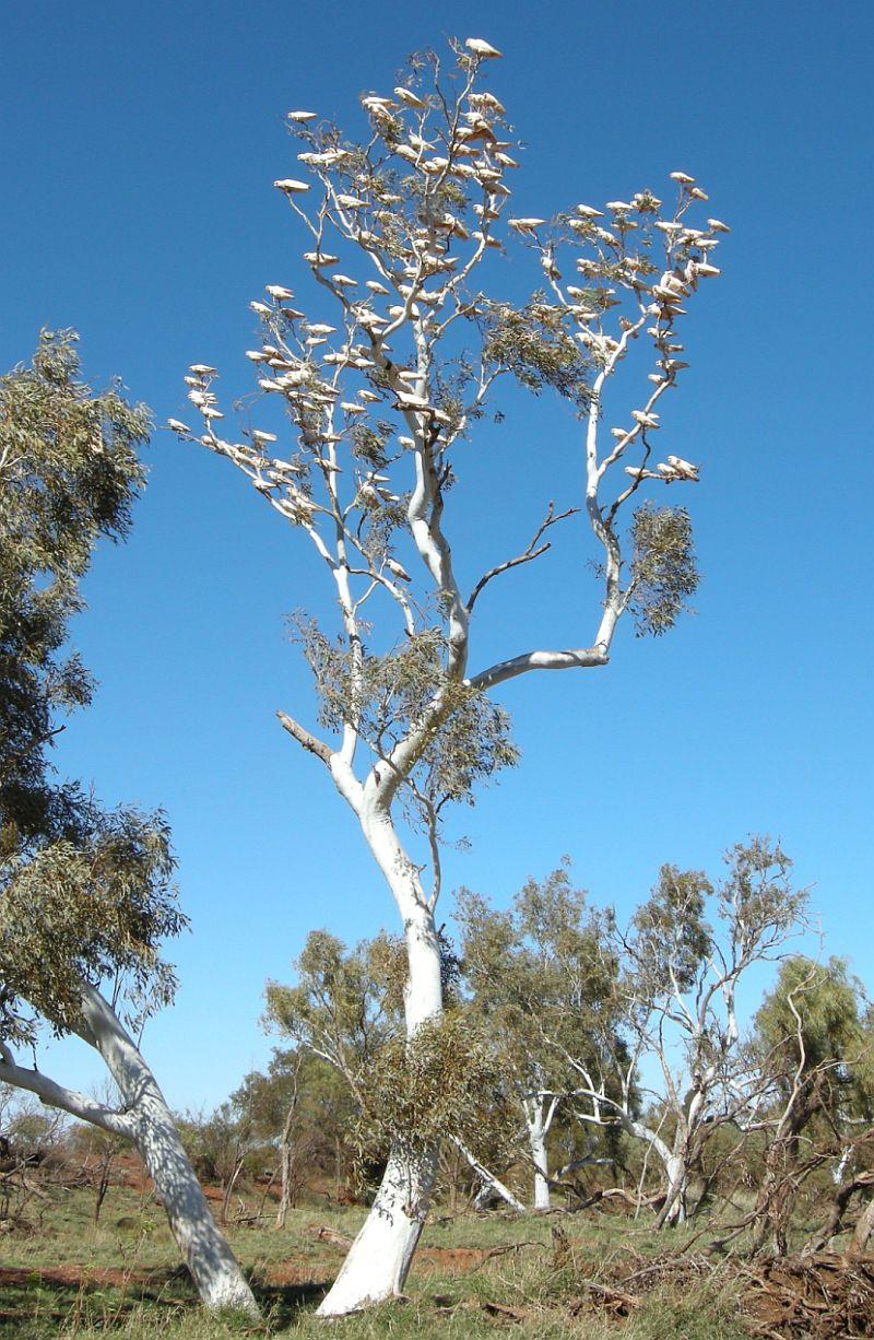 white galah tree