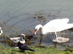 emsworth pond (drofidduc) Tags: swans ponds