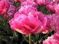 urgyen tulip2