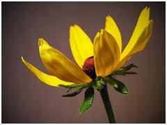 Kúpvirág (mega4000) Tags: flower olympus rudbeckia virág masterphotos platinumphoto platinumphotograph kúpvirág mega4000 mega4000fwhu dslrfotoamatőrésprofifotósokközössége