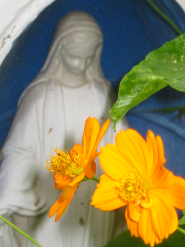 The best of my orange cosmos grow in the direction of Mary.