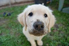 mica (Mathieu Bostoen) Tags: dog chien goldenretriever hond