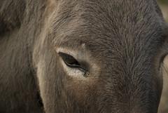 donkeye (brainblogger) Tags: donkey auge esel