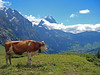 Swiss Alps - Eiger (will_cyclist) Tags: alps cycling switzerland cows berneroberland naturesfinest cowsx