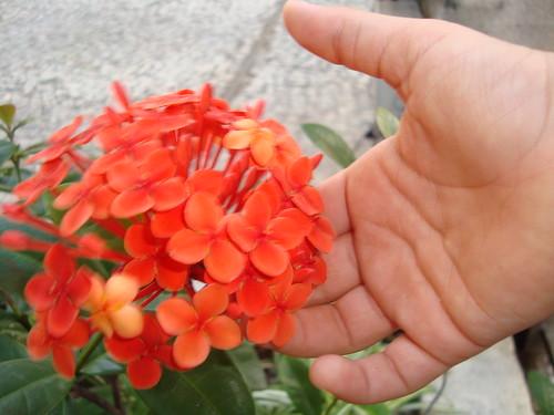 Ixora chinensis - Vermelha by Chrismferreira