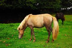 3 - 18 aot 2008 Saint-Michel-en-Grve Keropartz Centre questre Chevaux Poulains irlandais (melina1965) Tags: horses horse brown green cheval nikon bretagne august vert 2008 campagne brun amateurs aot