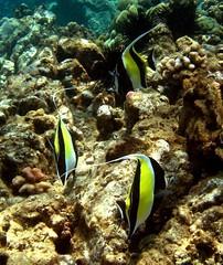 more moorish idols (bluewavechris) Tags: ocean life sea water animal coral hawaii marine underwater maui reef