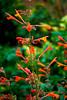 Agastache Aurantiaca 'Coronado' 3 (James Edward Creamer) Tags: orange green coral nikon bokeh coronado mygarden d60 aurantiaca agastache 1855mmf3556gvr