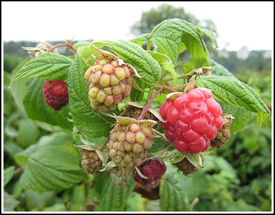 raspberries copy
