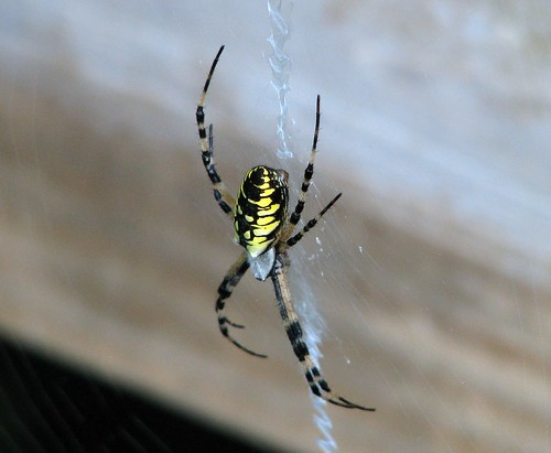 Black and yellow garden spider 2