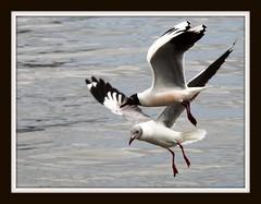 casal de gaivotas ... por sergio boeira