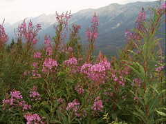 Radium July 2008087 (R Wethereyet) Tags: flowers canada mountains fog bc pentax britishcolumbia valley rockymountains radium kootenay fireweed columbiavalley rwethereyet