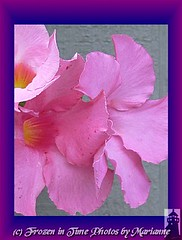 MANDEVILLA FLOWERS in purple and blue frame (Frozen in Time photos by Marianne AWAY OFF/ON) Tags: pink flowers flower nature wow mandevilla pinkflowers framedphotos grandmasflowers nationalgeographicwannabes floweraddicts wowphoto wowiekazowie flowerpicturesnolimits flowersarebeautiful theunforgettablepictures theunforgettablepicture excellentflowers flowersarefabulous rubyphotographer natureunlimitedpublicgroupforever photowatermarkframes theflowerbasketgroup dragonflyawardsgroup nationalgeographiswannabes