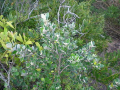 Plant 1 (cobalt.penguin) Tags: beach dunes sydney peninsula avalon barranjoey