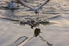 "Gulls Atack_0256.jpg (HVargas) Tags: lake water beautiful closeup canon bread eos duck petals atack gorgeous canoneos soe republicadominicana smörgåsbord naturesfinest canoneos5d canonlens exemplary canonef180mm golddragon 40d abigfave canonrebelxti canoneosdigitalrebelxti platinumphoto anawesomeshot aplusphoto digitaleeanalogico superbmasterpiece goldenphotographer diamondclassphotographer flickrdiamond megashot canoneos40d excellentphotographerawards theunforgettablepictures wonderfulworldmix kuwaitartphoto betterthangood canonef100400mml goldstaraward ef28300mm hvargas spiritofphotography ""ourmasterpieces canonef28300mm13556lisusm canonmacroef180mm photoshopelementsgull"
