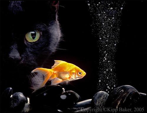 black cat eyes. Black Cat N Gold Fish