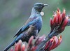 Tui   [ Prosthemadera novaeseelandiae] (Chook with the looks) Tags: newzealand nikon native d300 prosthemaderanovaeseelandiae flaxflower photofaceoffwinner pfogold