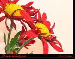 Chrysanthemum (Tony / Guy@Fawkes) Tags: red flower closeup petals ngc npc 1001nights chrysanthemum flowersandcolours awsomeblossoms 100commentgroup xtremeboquet