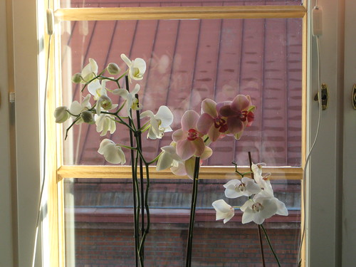 New windows old orchids by Anna Amnell