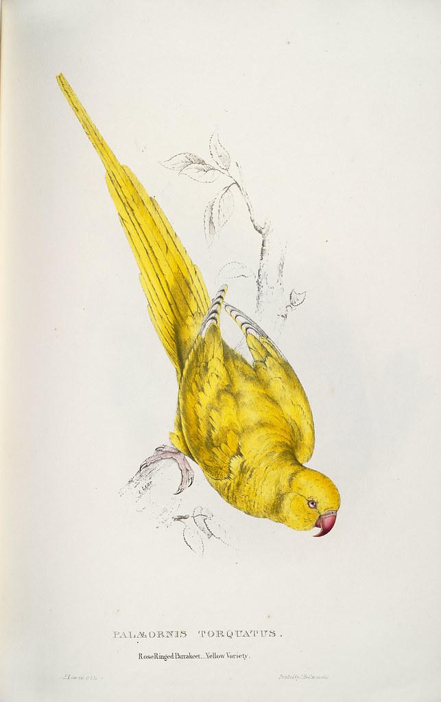 Palæornis torquatus. Roseringed parrakeet. Yellow variety