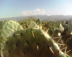 Opuntia ficus indica (Jamal Elkhalladi) Tags: cactus nature morocco maroc milli beni hassi berkane triffa znassen