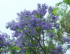 jacaranda tree (regina dementes) Tags: sky tree jacaranda