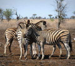 A Zebra Gathering (Colorado Sands) Tags: africa wild nature animals southafrica african stripes wildlife south safari zebra afrika nationalparks za sdafrika krugernationalpark kruger limpopo zebras southafrican knp sudafrica  zbre afriquedusud lafrique zuidafrika plainszebra burchellszebra equusburchelliantiquorum photoanimalire limpopoprovince sandraleidholdt sudafrika surfrica afrikasafari leidholdt sandyleidholdt
