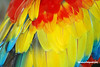 Parrot Feathers (Jeff Wignall) Tags: blue red abstract nature colors birds yellow nikon florida feathers parrot staugustine wignall colorcontrast alligatorfarm floridiana