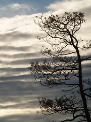 Waves of an Altostratus Cloud 1 (gripspix (OFF)) Tags: sky clouds treesilhouette waves altostratus