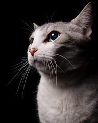 distracted (poopoorama) Tags: alex cat nikon sigma d300 strobist 1850mmf28exmacrohsm