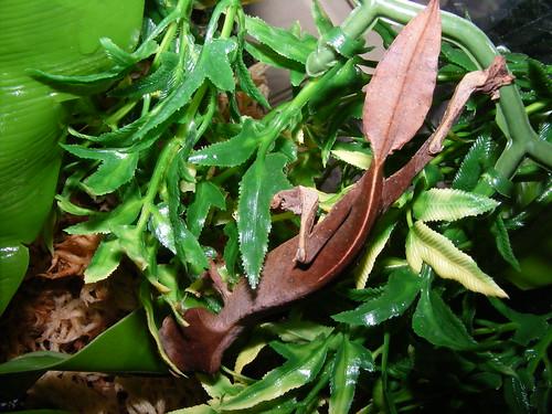 satanic leaf tailed gecko. Satanic Leaf-Tail Gecko